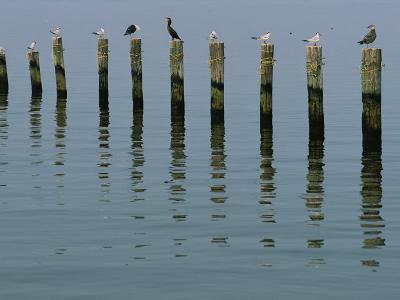 Gulls Perched on Pilings-Robert Madden-Photographic Print