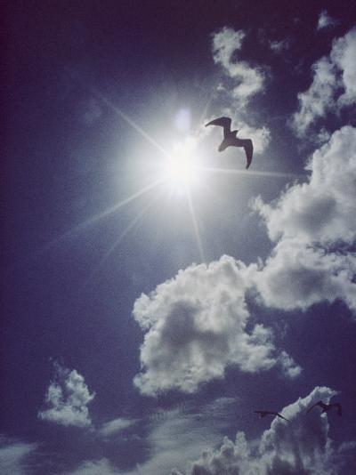 Gulls Silhouetted against the Sun-Emory Kristof-Photographic Print