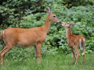 White-Tailed Fawn Nipping Mother's Nose by Gustav W. Verderber