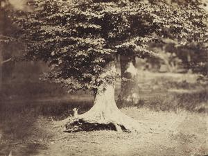 The Beech Tree, c.1855-7 by Gustave Le Gray