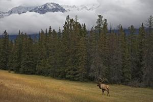 Bull Elk in Meadow with Snow Covered Mountains by Guy Crittenden