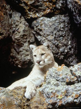 Mountain Lion on Rocky Bluff