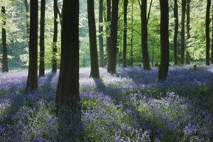 A Carpet of Bluebells (Endymion Nonscriptus) in Beech (Fagus Sylvatica) Woodland, Hampshire, UK by Guy Edwardes
