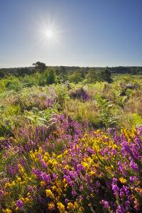 Bell Heather (Erica Cinerea) in Bloom on Lowland Heathland, Caesar's Camp, Hampshire, England, UK by Guy Edwardes
