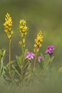 Bog Asphodel (Narthecium Ossifragum) and Cross-Leaved Heath (Erica Sp.) in Flower, New Forest, UK by Guy Edwardes