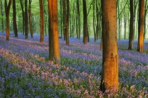 Carpet of Bluebells (Endymion Nonscriptus) in Beech (Fagus Sylvatica) Woodland at Dawn, UK by Guy Edwardes