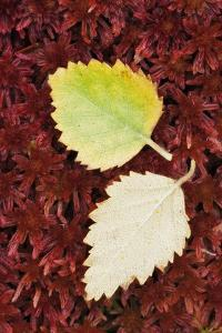 Fallen Silver Birch (Betula Pendula) Leaves on Sphagnum Moss. Glen Etive, Scotland, UK by Guy Edwardes