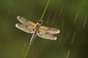 Four-Spotted Chaser Dragonfly (Libellula Quadrimaculata) in Rain, Westhay, Somerset Levels, UK by Guy Edwardes