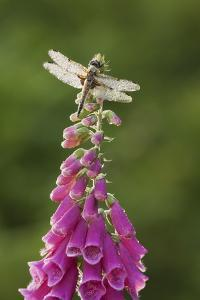 Four-Spotted Chaser Dragonfly (Libellula Quadrimaculata) on Foxglove Flowers, Somerset Levels, UK by Guy Edwardes