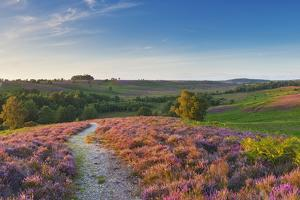 Heather in Bloom, Lowland Heathland, Rockford Common, Linwood, New Forest Np, England, UK by Guy Edwardes