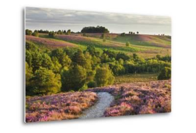 Heather in Bloom on Lowland Heathland, Rockford Common, Linwood, New Forest Np, Hampshire, UK