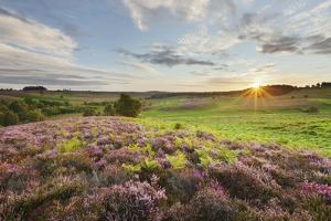 Heather in Bloom on Lowland Heathland, Rockford Common, Linwood, New Forest Np, Hampshire, UK by Guy Edwardes