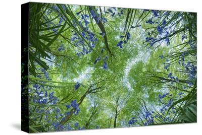 Looking Up Through Carpet of Bluebells (Endymion Nonscriptus) to Beech (Fagus Sylvatica) Canopy, UK
