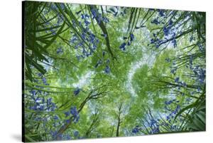 Looking Up Through Carpet of Bluebells (Endymion Nonscriptus) to Beech (Fagus Sylvatica) Canopy, UK by Guy Edwardes