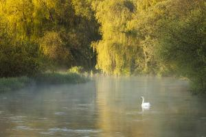 Mute Swan (Cygnus Olor) on the River Itchen at Dawn, Ovington, Hampshire, England, UK, May by Guy Edwardes