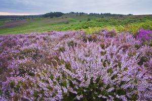 New Forest Heathland Ling (Erica Cinerea) and Bell Heather (Erica Cinerea) Hampshire, UK by Guy Edwardes