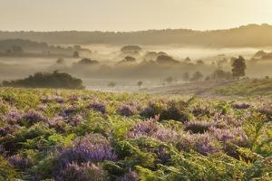 New Forest Heathland with Ling (Calluna Vulgaris) and Bell Heather (Erica Cinerea) Hampshire, UK by Guy Edwardes