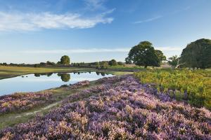 New Forest Heathland with Ling (Calluna Vulgaris), Bell Heather (Erica Sp.) and Pool, Hampshire, UK by Guy Edwardes