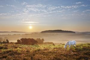 New Forest Pony Grazing on Latchmore Bottom at Dawn, the New Forest National Park, Hampshire, UK by Guy Edwardes