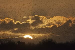 Starlings (Sturnus Vulgaris) Coming in to Roost at Shapwick, Somerset Levels, England, UK by Guy Edwardes