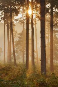 Sunrise in Coniferous Woodland. Gore Heath, Dorset, England, UK, September by Guy Edwardes