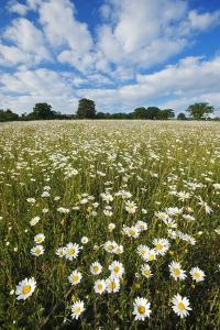 Traditionally Managed Wildflower Meadow with Ox-Eye Daisy (Leucanthemum Vulgare)Somerset, UK by Guy Edwardes
