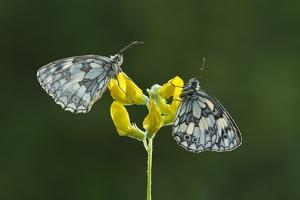 Two Marbled White Butterflies Resting on Meadow Vetchling, Powerstock Common Dwt Reserve, UK by Guy Edwardes