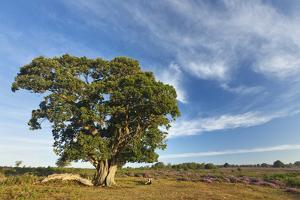 View over New Forest Heathland with Oak (Quercus Robur) Tree. New Forest Np, Hampshire, England, UK by Guy Edwardes