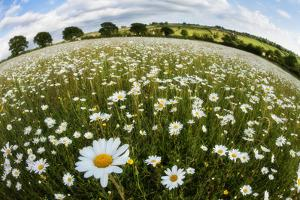 Wildflower Meadow with Ox-Eye Daisy (Leucanthemum Vulgare), Hardington Moor, Somerset, UK by Guy Edwardes