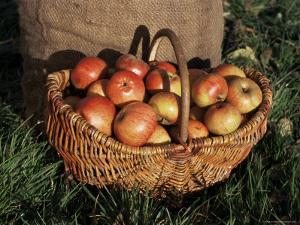 Basket of Cider Apples, Pays d'Auge, Normandie (Normandy), France by Guy Thouvenin