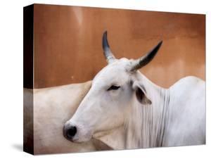 Sacred Cows by Guylain Doyle