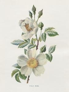 Field Rose by Gwendolyn Babbitt