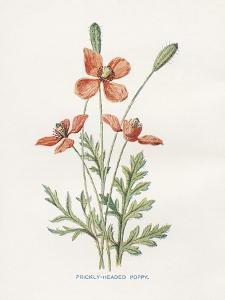 Prickly Headed Poppy by Gwendolyn Babbitt
