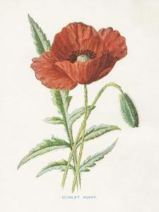 Scarlet Poppy by Gwendolyn Babbitt