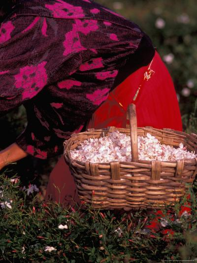 Gypsies Pick Jasmine Flowers, Grasse, France-Nik Wheeler-Photographic Print