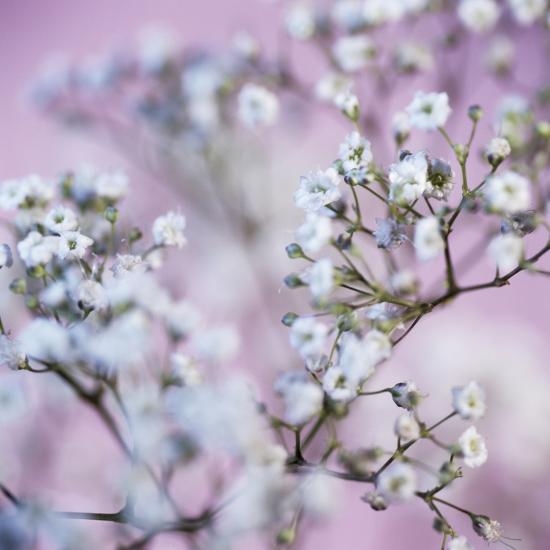 Gypsophila Flowers (Gypsophila Sp.)-Cristina-Photographic Print