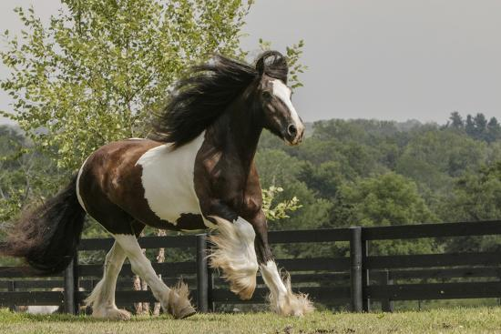 Gypsy Vanner Horse Running, Crestwood, Kentucky-Adam Jones-Photographic Print