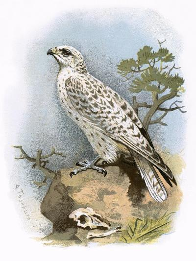Gyr-Falcon-English-Giclee Print