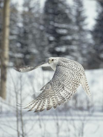 Gyrfalcon (Falco Rusticolus) Adult Female in White Phase Flying, North America-Konrad Wothe-Photographic Print