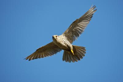 Gyrfalcon (Falco Rusticolus) in Flight, Thingeyjarsyslur, Iceland, June 2009-Bergmann-Photographic Print