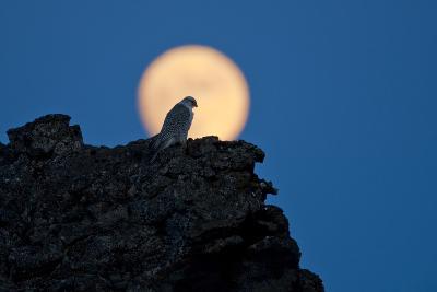 Gyrfalcon (Falco Rusticolus) Silhouetted at Full Moon, Myvatn, Thingeyjarsyslur, Iceland, April-Bergmann-Photographic Print