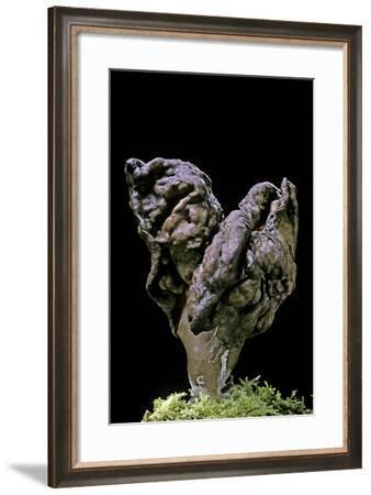 Gyromitra Infula (Hooded False Morel, Elfin Saddle)-Paul Starosta-Framed Photographic Print