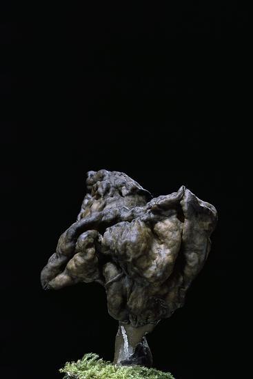 Gyromitra Infula (Hooded False Morel, Elfin Saddle)-Paul Starosta-Photographic Print