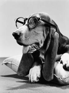 Basset Hound Wearing Spectacles by H^ Armstrong Roberts