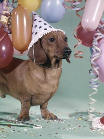 Dachshund Wearing Party Hat With Polka Dots Balloons by H. Armstrong Roberts