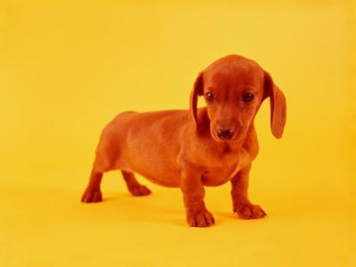 Dachshund by H. Armstrong Roberts