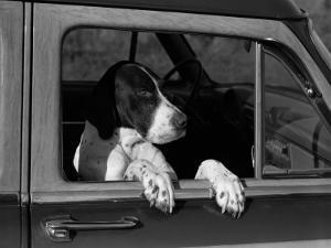 Dog in Car by H^ Armstrong Roberts