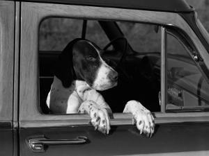Dog Sitting in Car, Leaning Out of Passenger Window by H. Armstrong Roberts