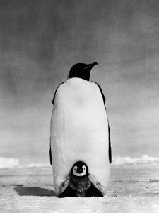 Emperor Penguin With Chick Resting on It's Feet To Keep Warm by H. Armstrong Roberts