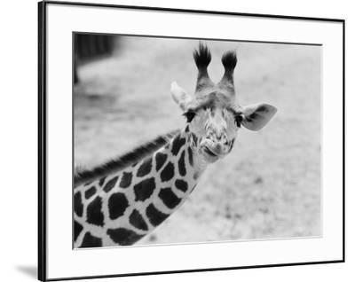 Giraffe by H^ Armstrong Roberts